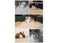 2x rabbits