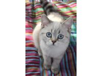 Gorgeus silver kitten
