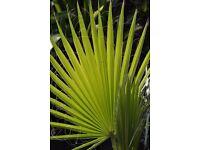 Washingtonia Robusta palm tree Central London Several available