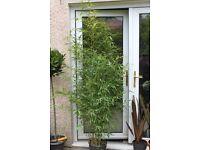 Bamboo Plants - Instant Screening.