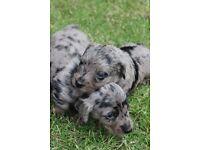 Dapple Miniature Dachshund/ Cockapoo Puppies - Bitches x 3 - York, North Yorkshire