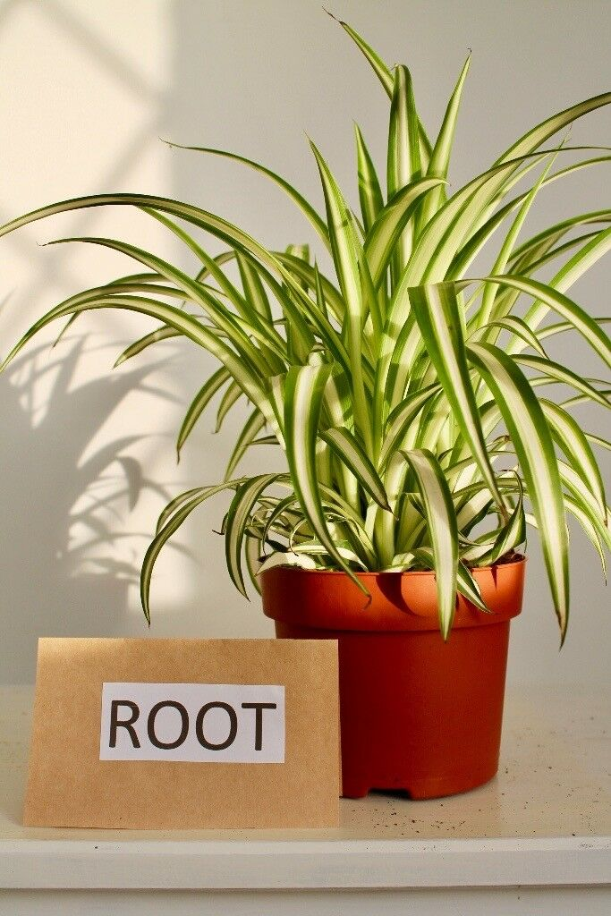 "chlorophytum com. Variegatum ""spider plant"" House plant"