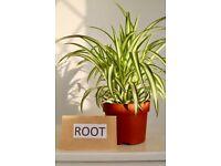 "chlorophytum com. Variegatum ""spider plant"" House plant 12cm pot 30cm tall"