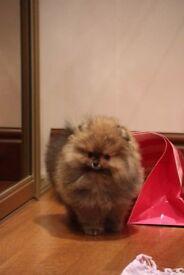 Miniature Pomeranian puppy boy with pedigree and KC reg