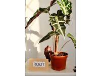 "Alocasia Polly ""Elephant ear"" House plant in 12cm pot 38cm tall approx"