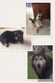 Gsd x malamute pups boys and girls vaccinated and chipped / insured both parents owned