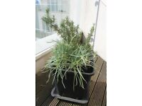 Rosemary and carnation with pot
