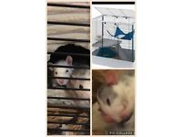 Baby rats + brand new cage + toys + bundle