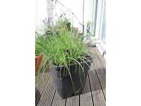 Large pot of chives