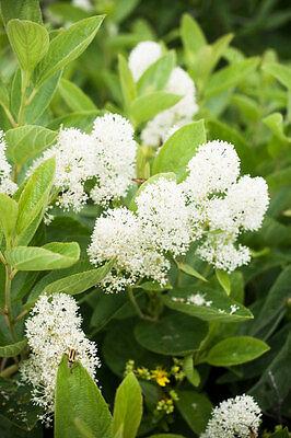 20 White NEW JERSEY TEA Hummingbird Flower Ceanothus Americanus Shrub -