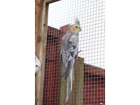 Young male cockatiel (2 available)