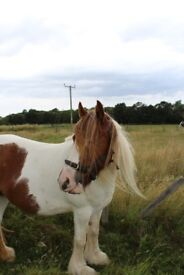 Traditional Coloured Cob Mare