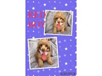 Toy poodle kc reg show quality
