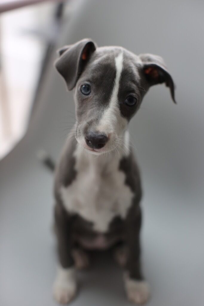 Italian GreyHound Puppy Female | in Richmond, London | Gumtree