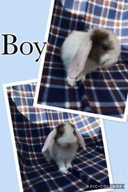 Mini lops for sale