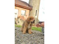 Tibetan mastiff puppies ready to go UK
