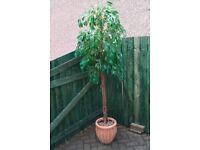 Faux Tree in Terracotta Pot