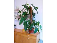 NOW SOLD Lovely large philodendron house plant NOW SOLD