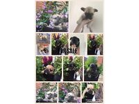 NOW REDUCED kc reg French Bulldogs