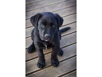11 week old pedigree lab puppy