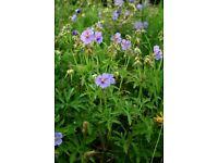 4 x Meadow Cranesbill (Geranium pratense) plants purple blue blooming established Horsell