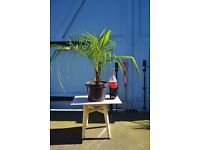 Phoenix hybrid Palms for sale Vauxhall London Newport street SE56AY