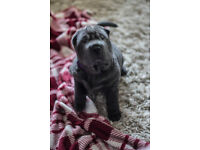 Shar Pei Puppies KC Reg, Blue & Lilac