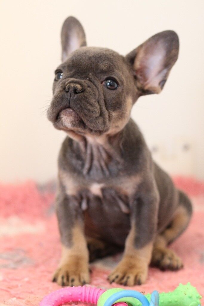 French Bulldog Babies Ready Now In Hove East Sussex Gumtree