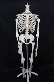 Anatomical Teaching Skeleton (adult size - no head) *collection only*