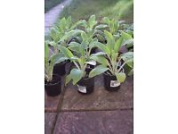 Foxgloves plants for sale