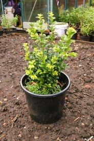 Hebe plants, well established in pots, approx. 2 ft. high.