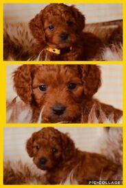 Fox Red F1b Toy Cockerpoo puppies