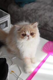 Persian Cream & White Kitten
