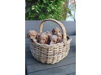 Pedigree Standard Poodle Puppies
