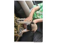 Puppies (pug)