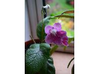 Streptocarpus Plants For Sale