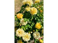 Rose plant with beautiful yellow roses