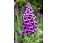 Foxglove plants. Bee loving - Pokesdown BH5 2AB