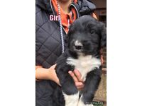 Sproddle puppies ( Springer spaniels cross poodle)
