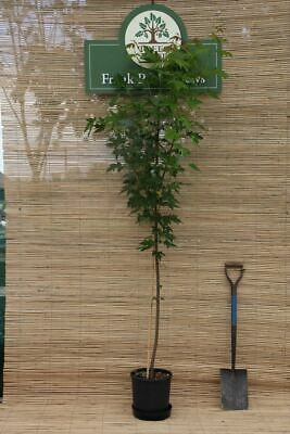 Acer saccharinum Silver maple tree in a 7 Litre pot