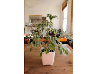 House plant FICUS BENJAMINA with pot