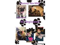 Pug Puppies KC Registered Fawn girls