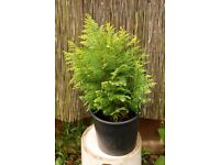 small conifer bushes in pots