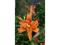 Hemerocallis (day Lily) easy garden plant in flower now, repeats each year