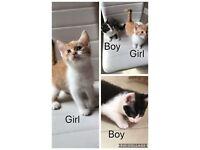 Ginger and White Kittens