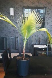 Thread palm tree indoor plant