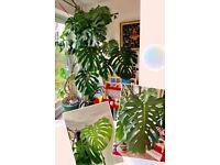 Monstera deliciosa-Massive indoor plant-massive green leaves