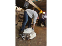 Traditional Sheep Shearing in Somerset and Surrounding areas
