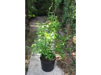 Potted pomegranate plant/tree