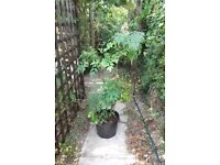 Potted heavenly bamboo plant